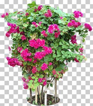 Bougainvillea Glabra Tree Flower Plant PNG