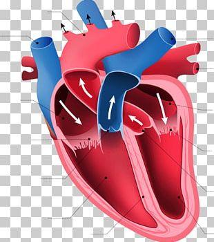 Heart Anatomy Human Body Organ Circulatory System PNG