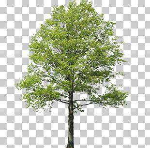 Populus Nigra Tree Rendering Landscape PNG