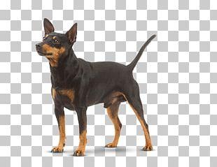 Miniature Pinscher German Pinscher Dobermann Black Russian Terrier Russkiy Toy PNG