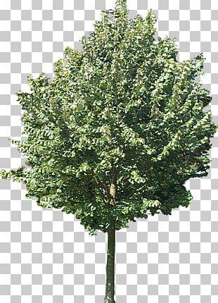 Oak Tree Drawing Acorn PNG