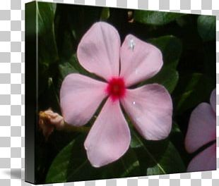 Violet Mallows Periwinkle Catharanthus Roseus PNG