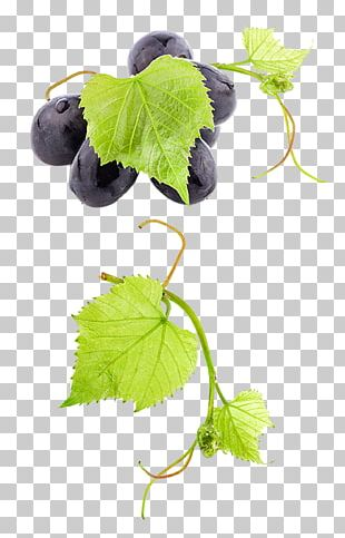 Common Grape Vine Wine Grape Leaves Fruit PNG