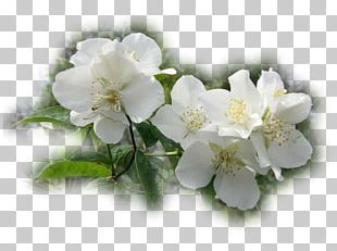 Jasmine Rose Family Cherry Blossom PNG