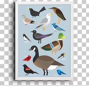 Duck Shorebirds Seabird Beak Feather PNG