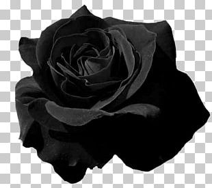 Garden Roses Flower Petal PNG