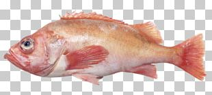 Northern Red Snapper Fish Products Perch Oily Fish Mullus Barbatus PNG