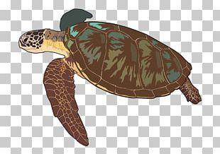 Loggerhead Sea Turtle Box Turtles Las Tortugas Marinas Tortoise PNG