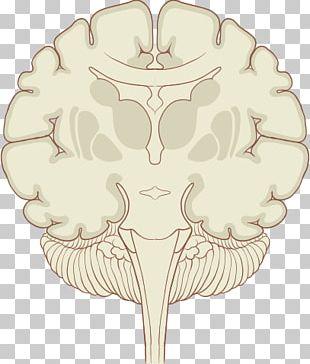 Coronal Plane Human Brain Subthalamic Nucleus PNG