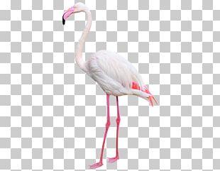 Water Bird Greater Flamingo Beak Photography PNG