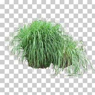 Shrub Grasses Plant Tree PNG