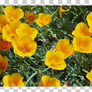 California Poppy Flowering Plant Annual Plant PNG