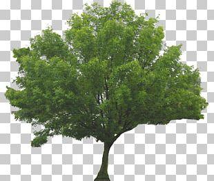 Tree Shrub Branch PNG