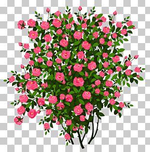 Rose Shrub Flower PNG