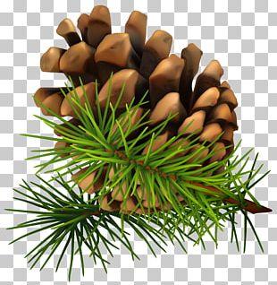 Conifer Cone Pine PNG