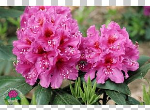 Azalea Rhododendron Annual Plant Herbaceous Plant PNG