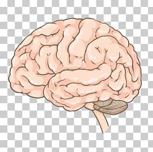 Brain Cerebrum Agy Spinal Cord PNG