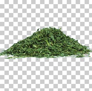 Alfalfa Sprouting Herb Food Nutrition PNG