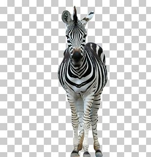 Lion Horse Zebra Wildlife Stripe PNG