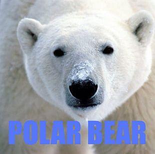 Svalbard Baby Polar Bear Arctic PNG