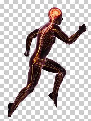 Nervous System Blood Vessel Reflex Human Body Organ System PNG