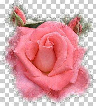 The Gardens Of The American Rose Center Hybrid Tea Rose Garden Roses Royal National Rose Society PNG