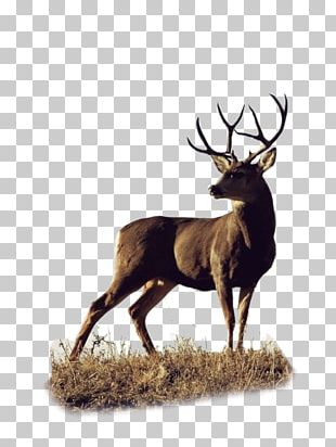Roe Deer White-tailed Deer Elk Mule PNG