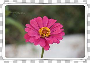 Garden Cosmos Transvaal Daisy Annual Plant Magenta PNG