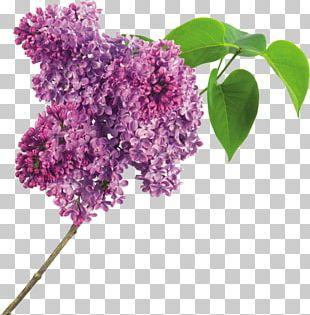 Lilac Flower Purple PNG