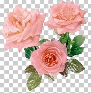 Rosa Gallica Flower Pink Purple PNG