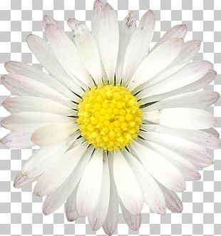 Common Daisy Flower Quotation Birthday PNG