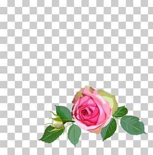 Garden Roses Floral Design Centifolia Roses Flower PNG
