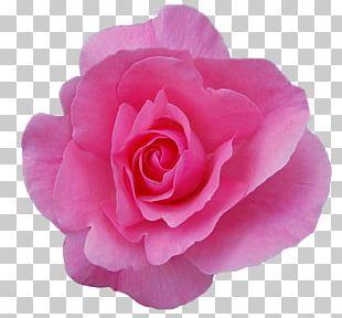 Damask Rose Rose Oil Garden Roses Flower Essential Oil PNG