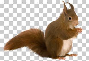 Tree Squirrels Animaatio PNG