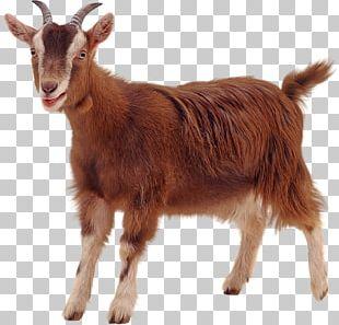 Golden Guernsey Sheep PNG