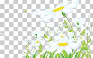 Common Daisy Desktop PNG