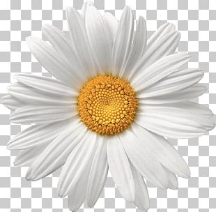 Common Daisy Flower White Stock Photography PNG