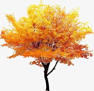 Autumn Gold Maple Trees PNG