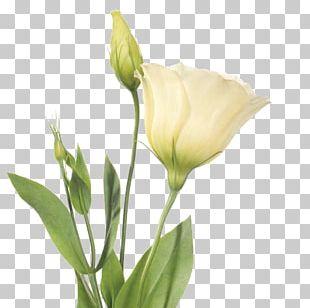Cut Flowers Prairie Gentian Plant Stem Bud PNG