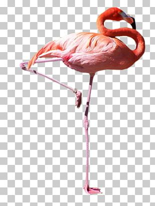 Flamingos Bird Domestic Pigeon Parrot White Stork PNG