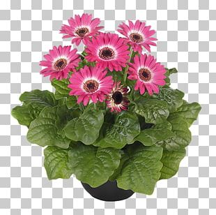 Transvaal Daisy Cut Flowers Floral Design Floristry Seed PNG