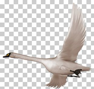 Swan Bird Flight PNG