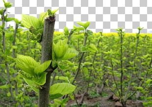 White Mulberry Leaf Extract AliExpress PNG