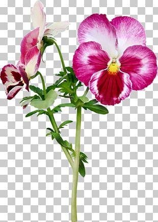 Pansy Cut Flowers Purple PNG