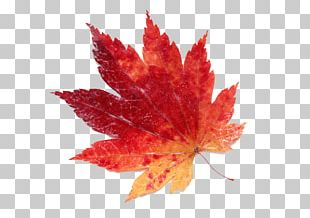 Maple Leaf Color Red PNG