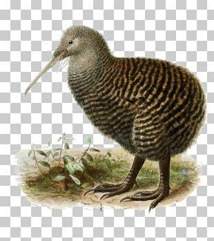 New Zealand Bird Great Spotted Kiwi North Island Brown Kiwi Little Spotted Kiwi PNG