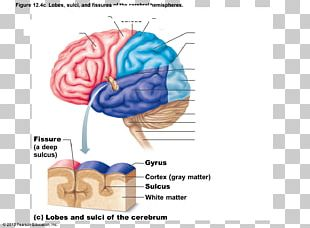 Cerebral Hemisphere Sulcus Lobes Of The Brain Gyrus PNG