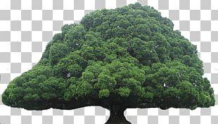 Acharya Jagadish Chandra Bose Indian Botanic Garden Tree Oak Giant Sequoia PNG