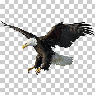 Bald Eagle Drawing Illustration PNG