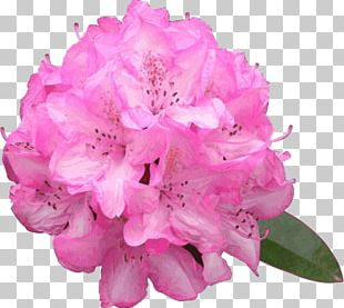 Rhododendron Macrophyllum Flower Azalea PNG